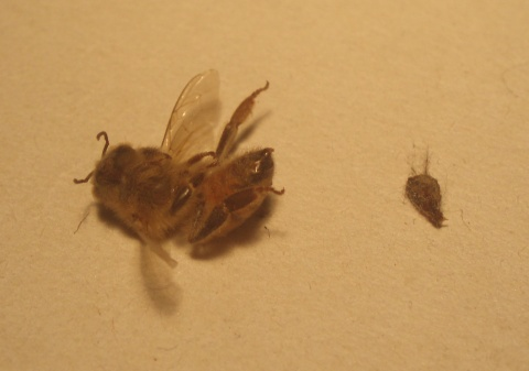 ape con sacca di veleno