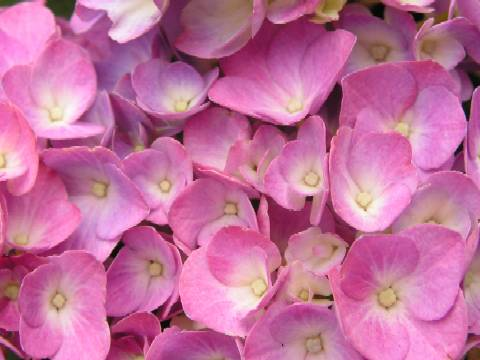 Una foto di fiori rosa